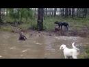 Охота, бой собаки с чупакаброй, реальные кадры